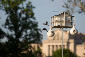 Purple martin houses, nests and hatchlings in Forest Park St. Louis.