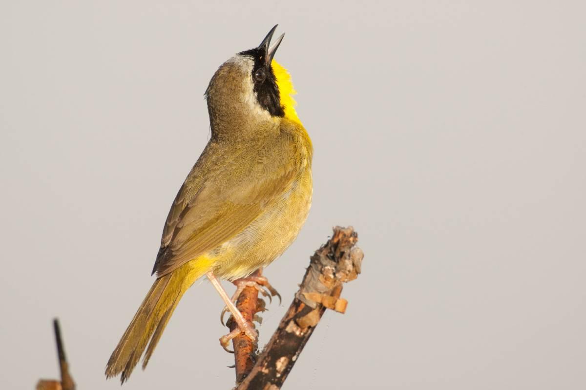 bird identification basics u2013 great missouri birding trail