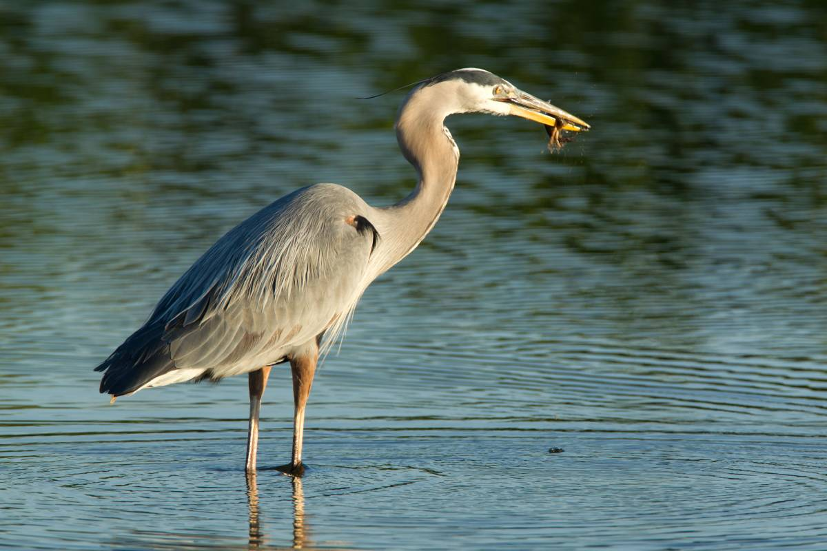 Great Blue Herons are found in water-wetlands, streams, and ponds.