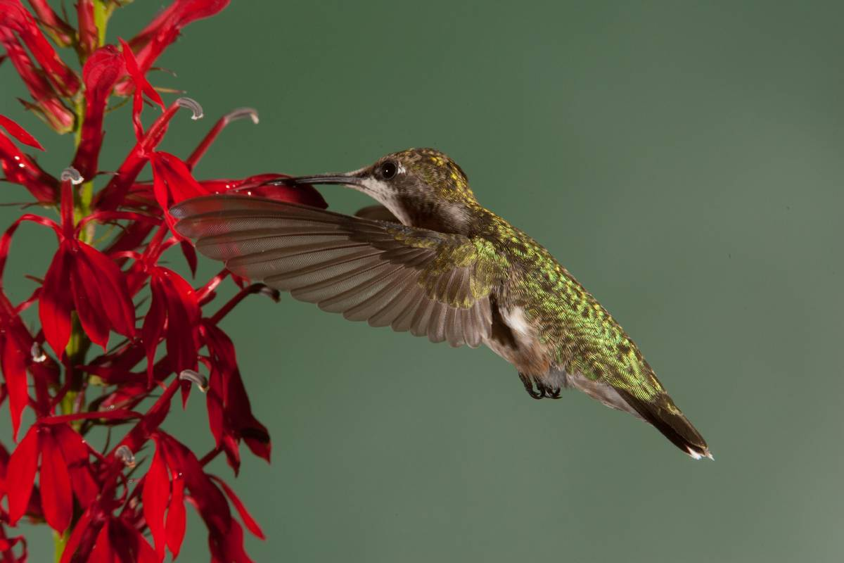 A Ruby-Throated Hummingbird drinks nectar from Cardinal Flower in mid-flight.