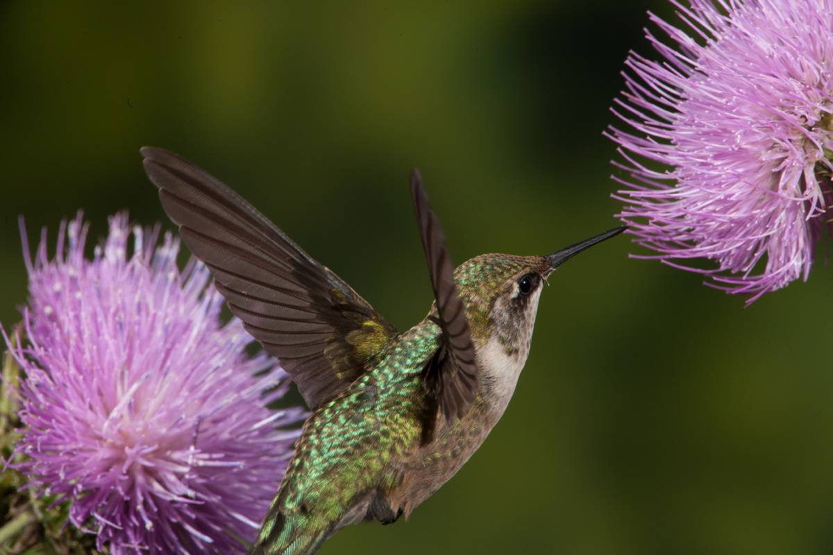 A Ruby-Throated Hummingbird drinks nectar from a thistle in mid-flight.