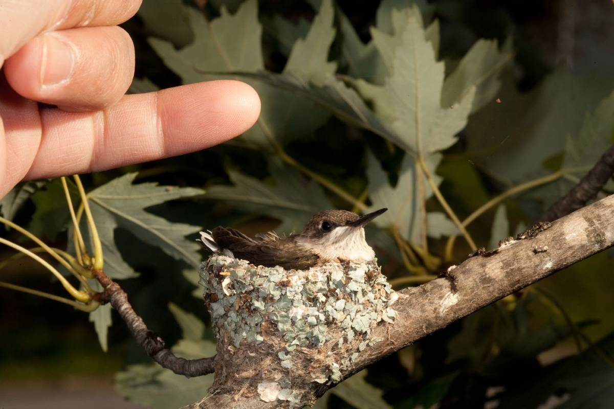 A 20-day-old Ruby-Throated Hummingbird chick rests and tests its wings in the nest. Pinkie finger for scale.
