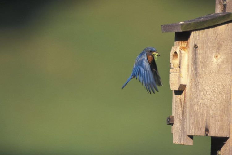 Eastern Bluebird Nest Box