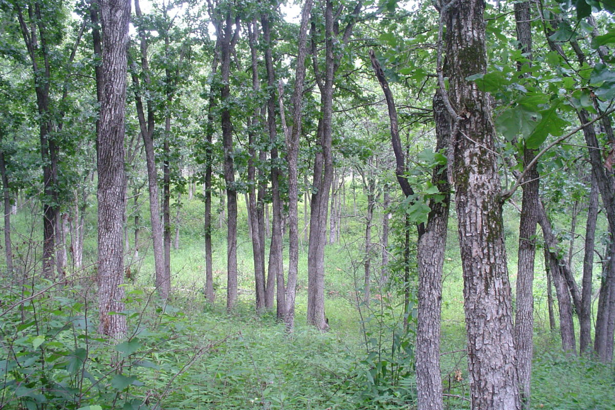 Glaciated woodland has a varied canopy, but oaks and hickories are common. The understory is usually sparse, depending on the frequency of fire.