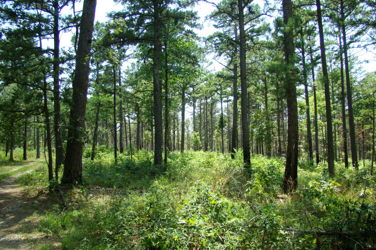 Ozark oak pine woodland consists of a variety of oaks and hickories, and shortleaf pine. The understory is comprised of sassafras, oak shrubs, and various herbaceous vegetation. The fire regime affects how patchy the understory is beneath the canopy.