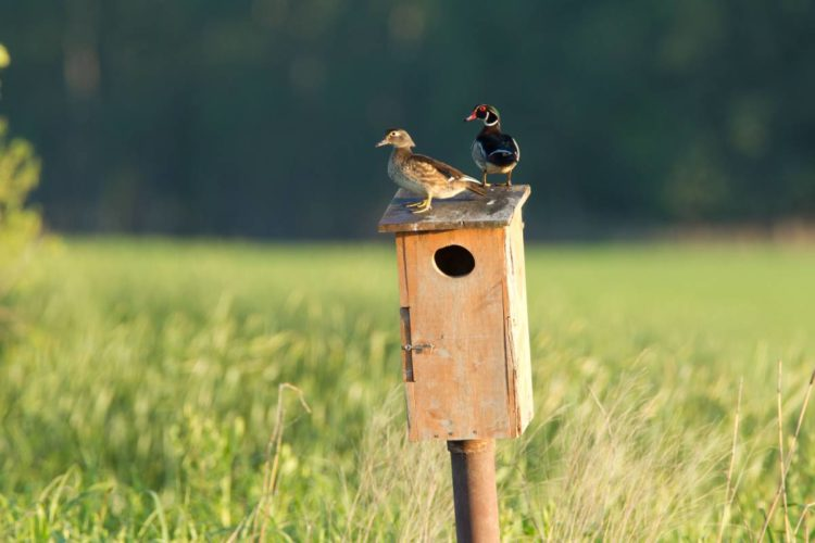 Wood Ducks on Nest Box