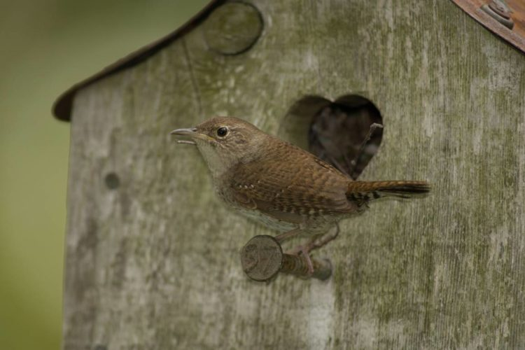 House wren perched at birdhouse